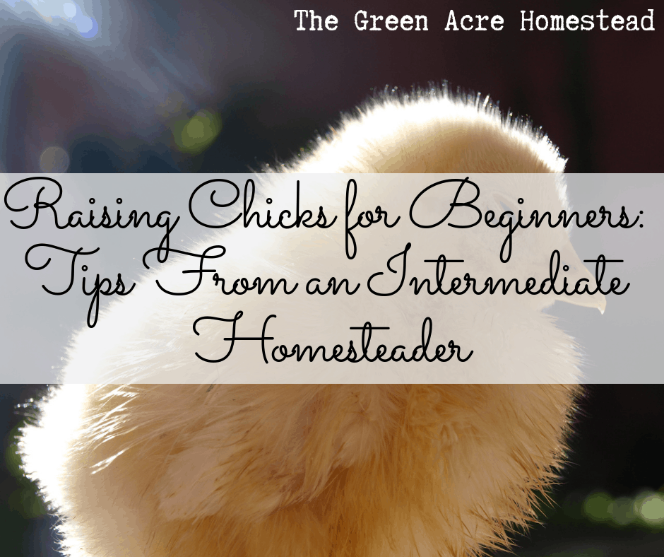 Raising Chicks for Beginners_ Tips From an Intermediate Homesteader (4)