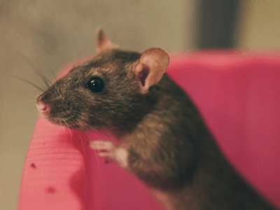 Dealing with Rodents on the Homestead (And How I Got Rid of Them)