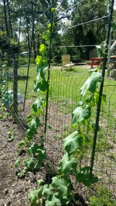 growing luffa sponges