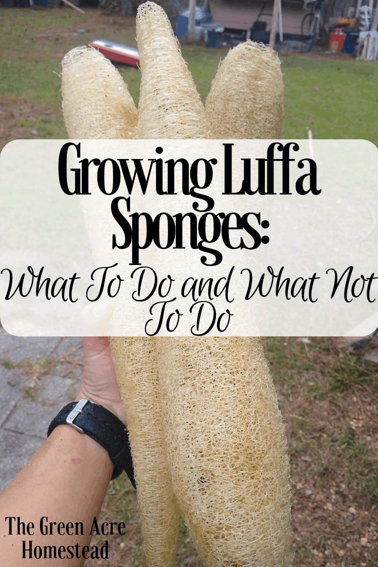 Growing Luffa Sponges: What To Do and What Not To Do