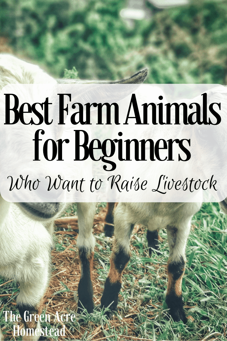 Best Farm Animals for Beginners Who Want to Raise Livestock