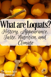 What are loquats