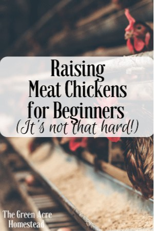 raising meat chickens for beginners