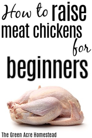 how to raise meat chickens for beginners